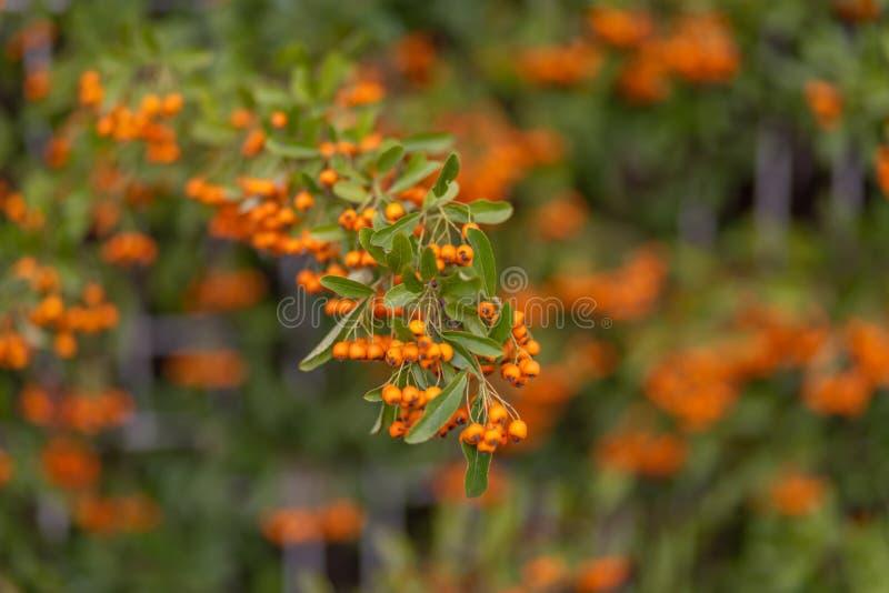 Röda bär av hagtorn växer på filialerna Små orange bär med gröna sidor Hagtornhöstbär royaltyfri foto