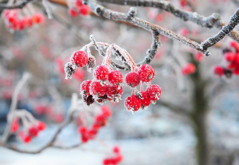 Röda bär av rönnen med rimfrost i frostigt väder för vinter royaltyfri bild