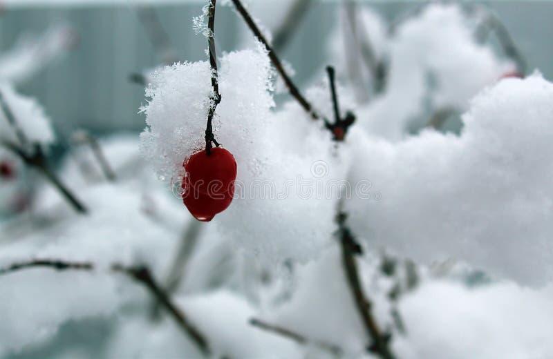 Röda bär av viburnumen i snön royaltyfria bilder