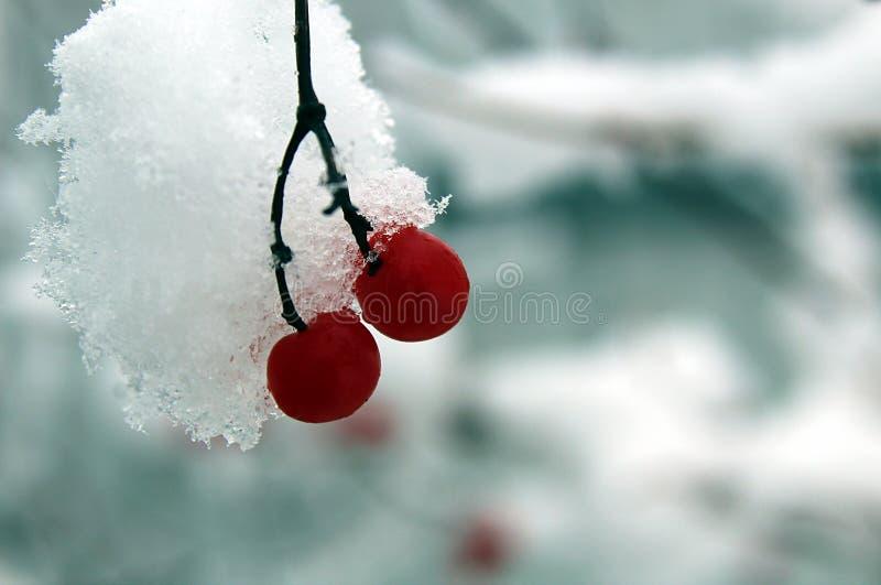 Röda bär av viburnumen i snön royaltyfri bild