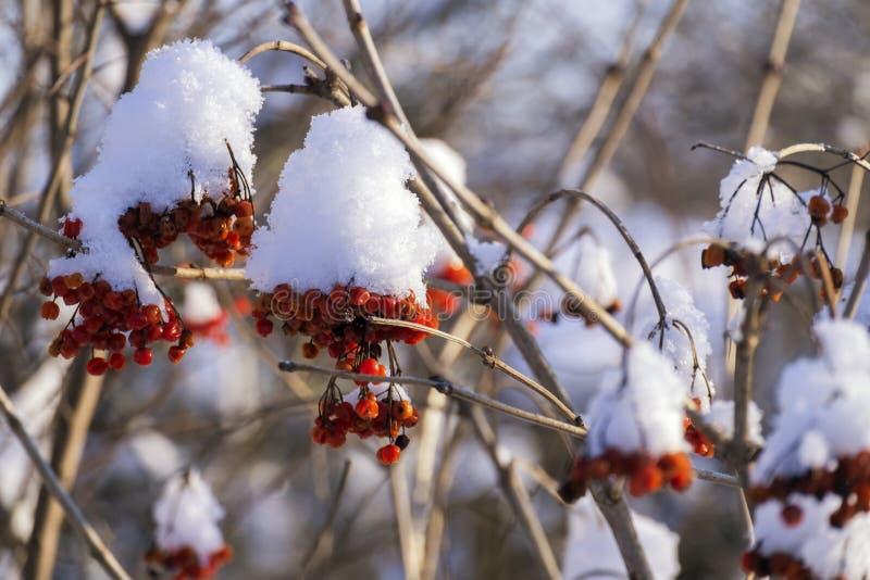 Röda bär av viburnumen som täckas med snö fotografering för bildbyråer