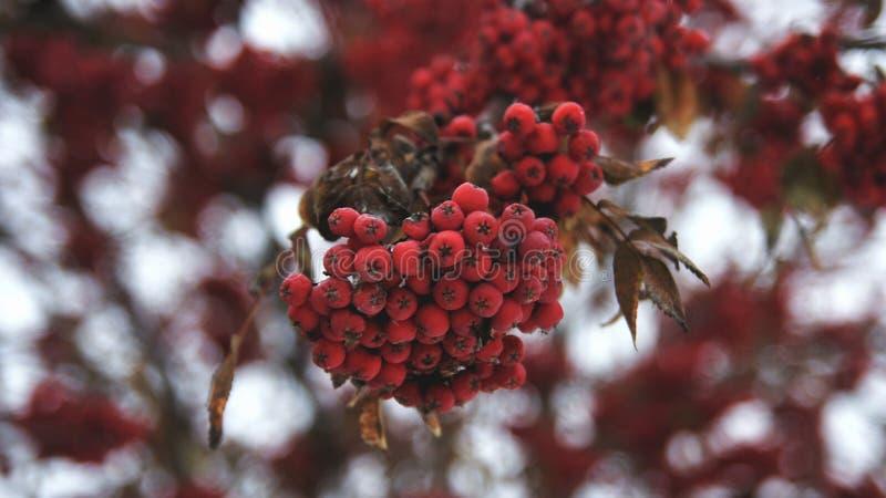Röda bär för vinter i fokus arkivbild