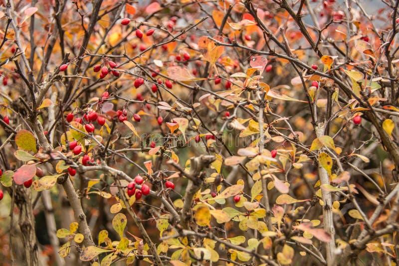 Röda bär, gula leafes royaltyfria foton