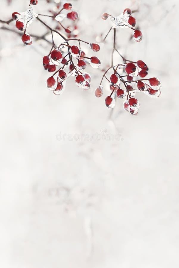 Röda bär i isen Lynnet av vinterferierna Magin av vintern för fotostruktur för abstrakt bakgrund homogen tappning royaltyfri fotografi