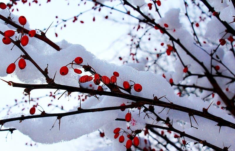 Röda bär med snö royaltyfria foton