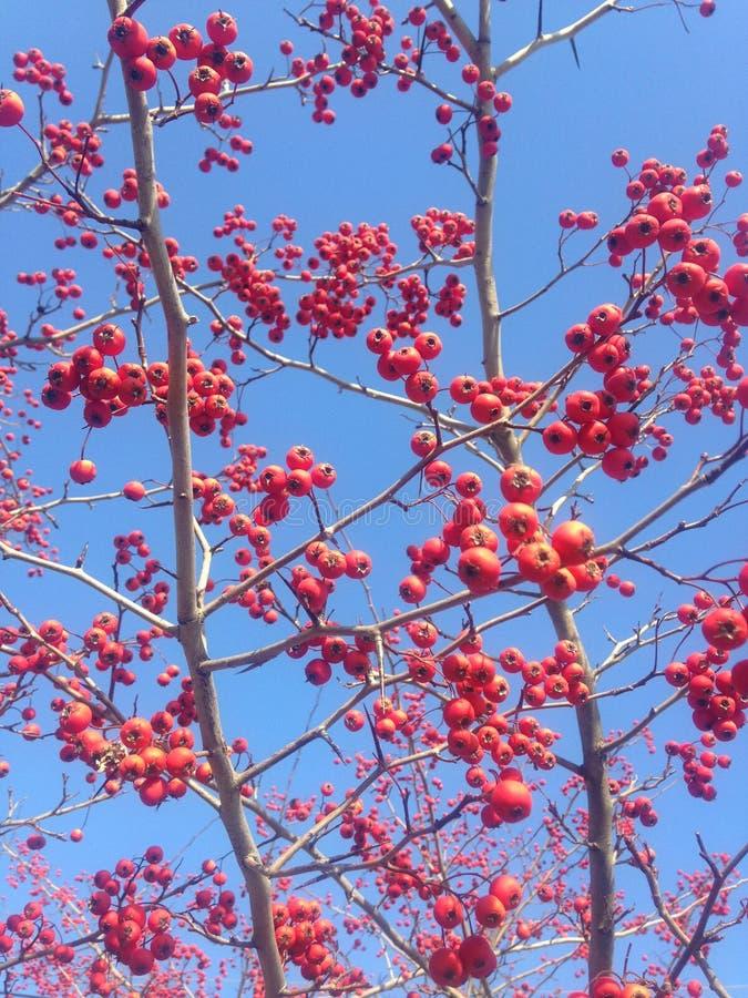 Röda bär på ett Crataegusträd i vinter arkivfoton