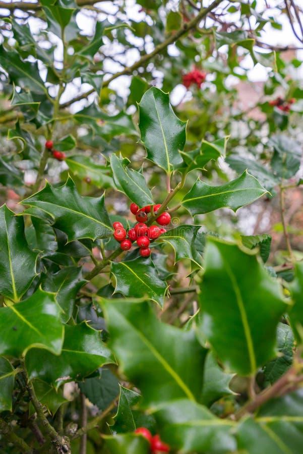 Röda bär på ett järnekträd arkivbilder