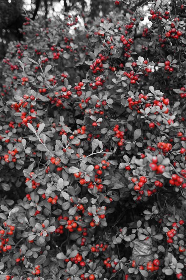 Röda bär på träd i black&vit royaltyfri bild