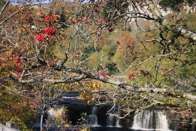 Röda bär på trädet i höst, vattenfall bakom royaltyfria bilder