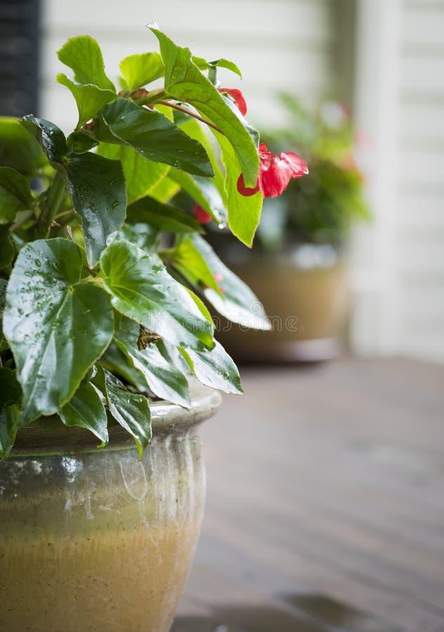 Röda begonior i en keramisk kruka royaltyfri fotografi