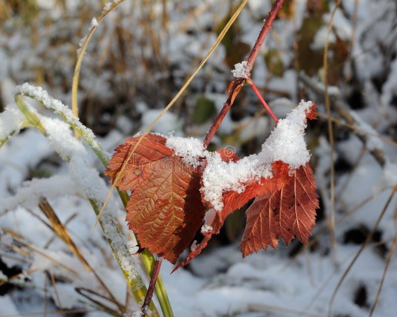 Röda björnbärsidor under snön royaltyfri fotografi