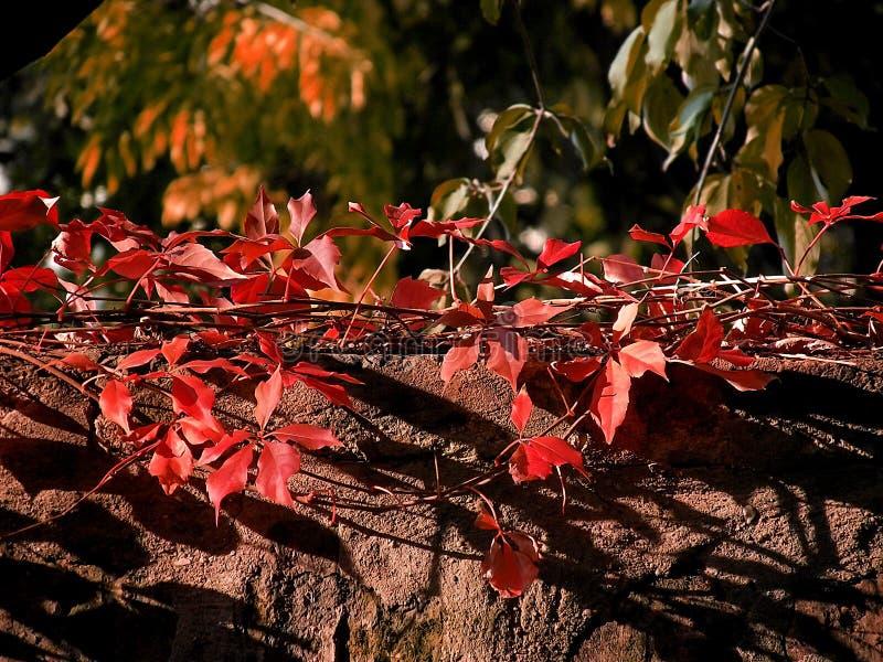Röda blad på väggen royaltyfri bild