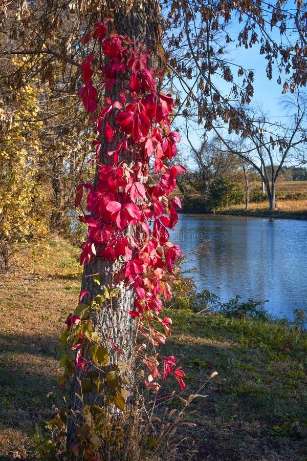 Röda bladvinrankor som upp växer trädstammen arkivfoto