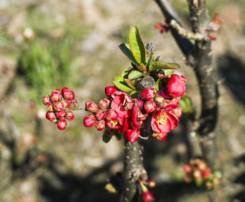 Röda blommaknoppar av äpplet, päronet eller den körsbärsröda plommonet royaltyfri bild