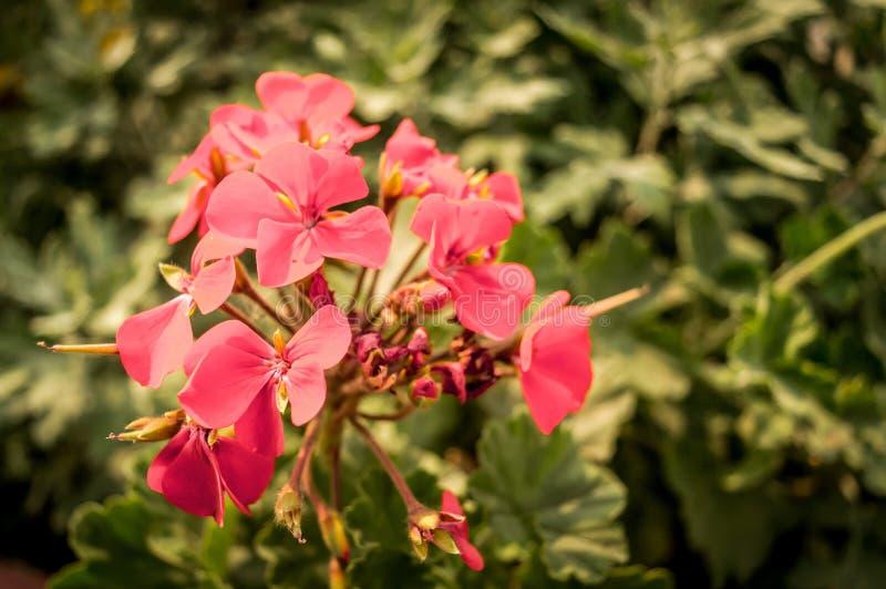 Röda blommakronblad och knoppar gör grön shurbs i bakgrunden royaltyfria bilder