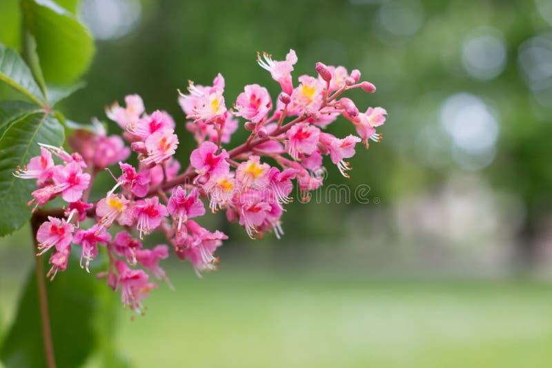 Röda blommor för kastanjebrunt träd för häst royaltyfri fotografi