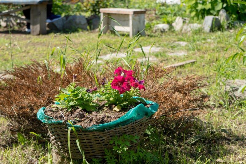 Röda blommor i en korg i trädgården royaltyfri foto