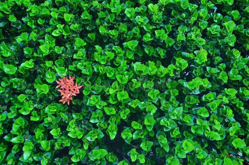 Röda blommor i gröna knoppar av ixoraträdet royaltyfri bild