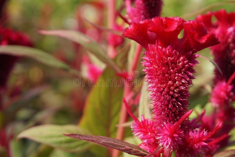 Röda blommor i Thailand royaltyfri bild