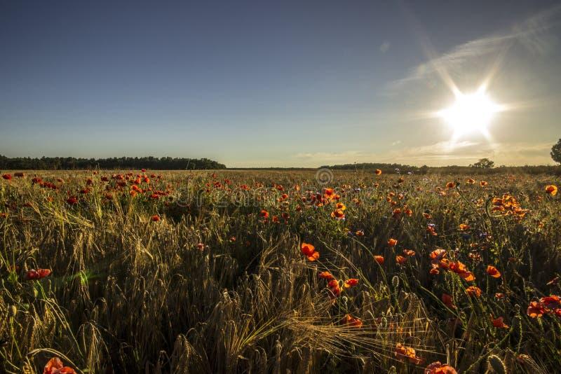 Röda blommor i vetefält arkivfoto