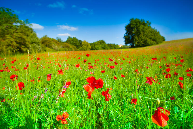Röda blommor och grönt fält arkivfoto