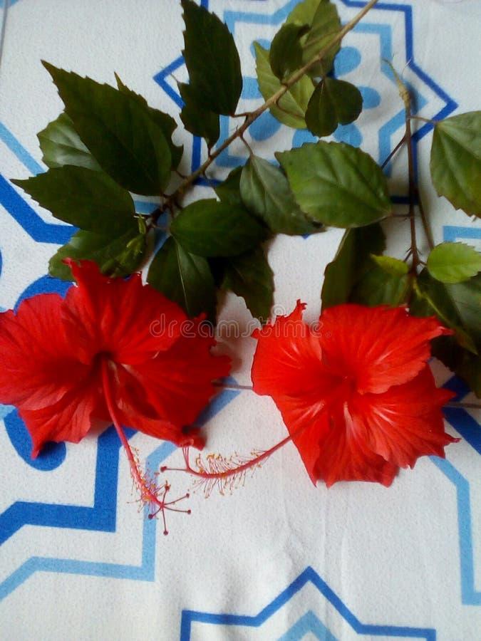 Röda blommor på min säng med den vita och lightblue skjortan royaltyfri bild