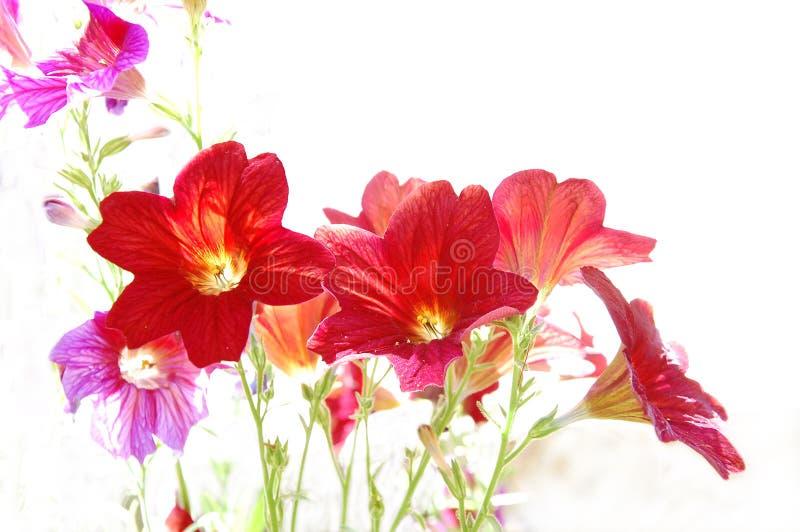 Röda blommor på vit bakgrund arkivbilder