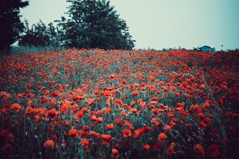 Röda blommor - vallmo som växer på ängen Stor bakgrundssuddighet, litet djup av fältet royaltyfri fotografi