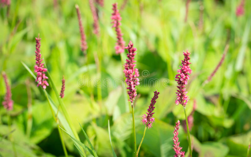 Röda blomningPolygonumväxter arkivfoto
