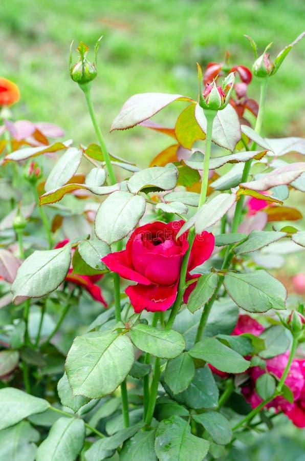 Röda Christian Dior steg i trädgård arkivbild