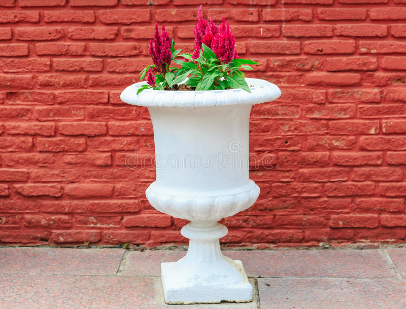Röda Cockcomb som isoleras i den keramiska krukan i natur arkivfoton
