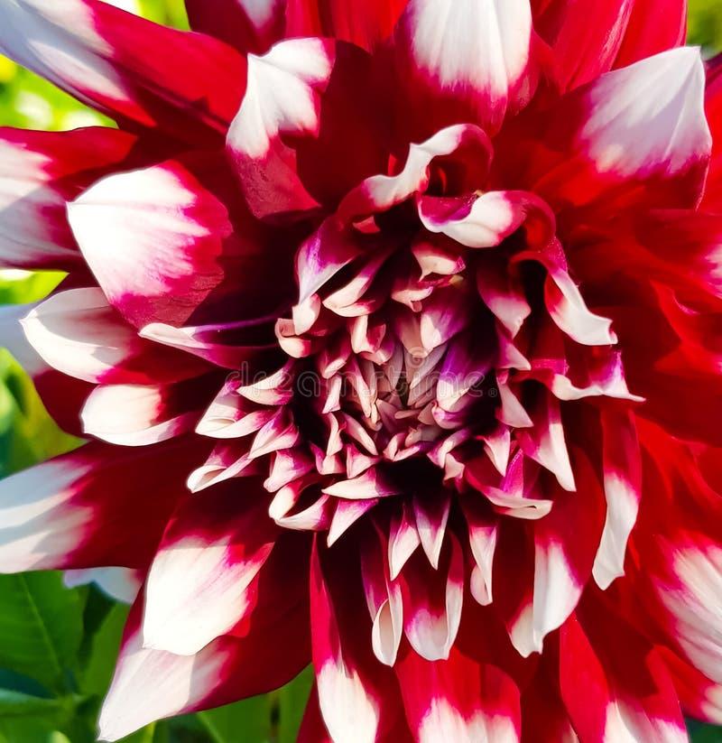 Röda dahliakronblad med den vita spetsen royaltyfri bild