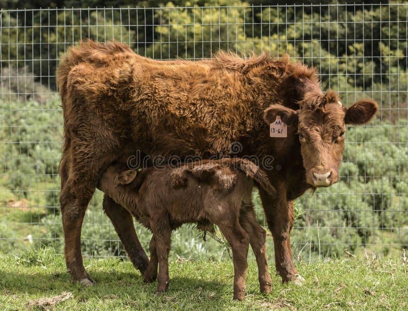 Röda Dexter Cow, med nyligen fött dricka för kalv som är hennes, mjölkar fotografering för bildbyråer