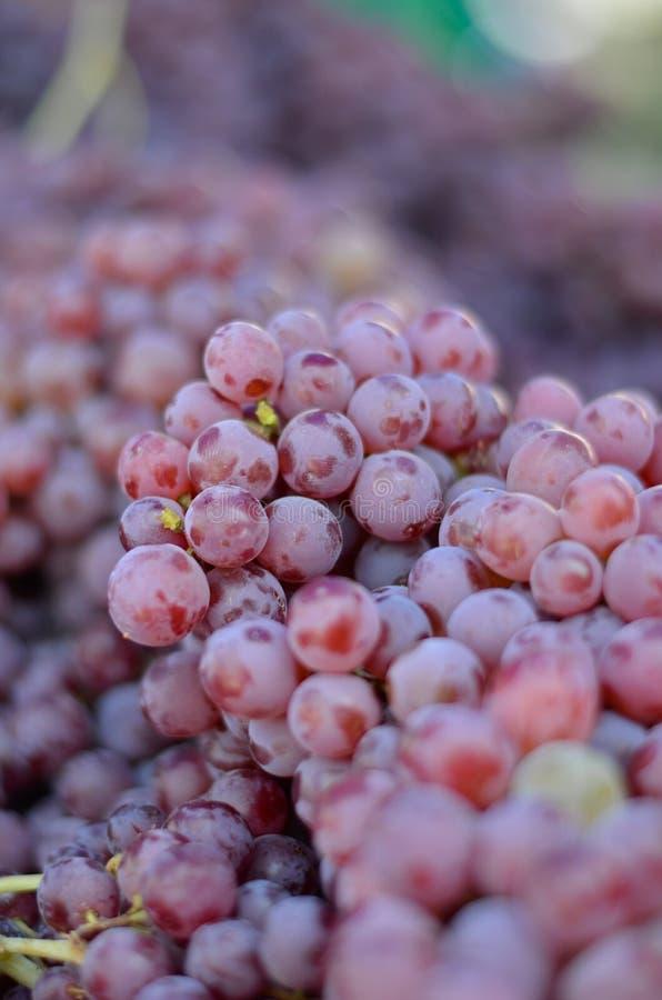 röda druvor arkivfoton