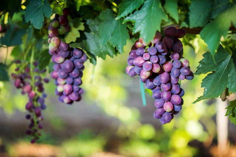 Röda druvor med sidor på vingården i en etablerad vinodling fotografering för bildbyråer