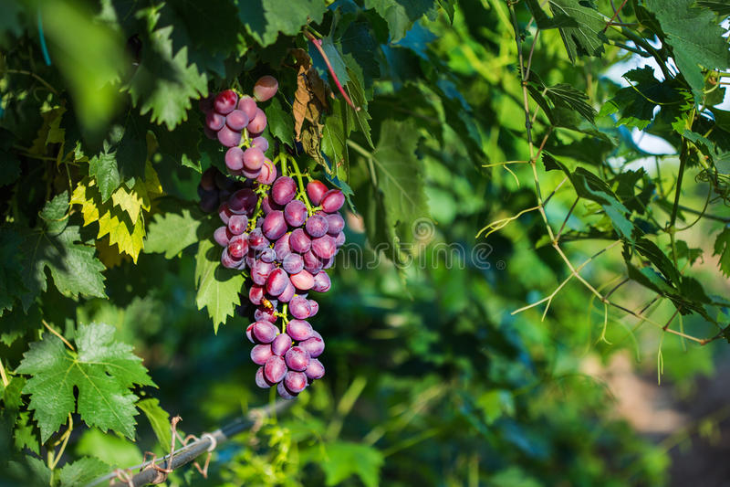 Röda druvor med sidor på vingården i en etablerad vinodling royaltyfri fotografi