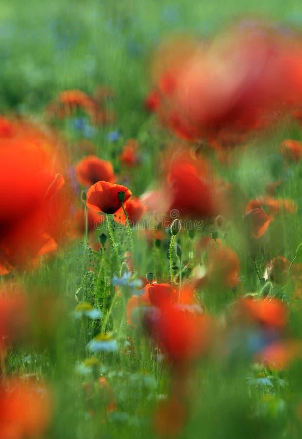 röda fältvallmor royaltyfri foto