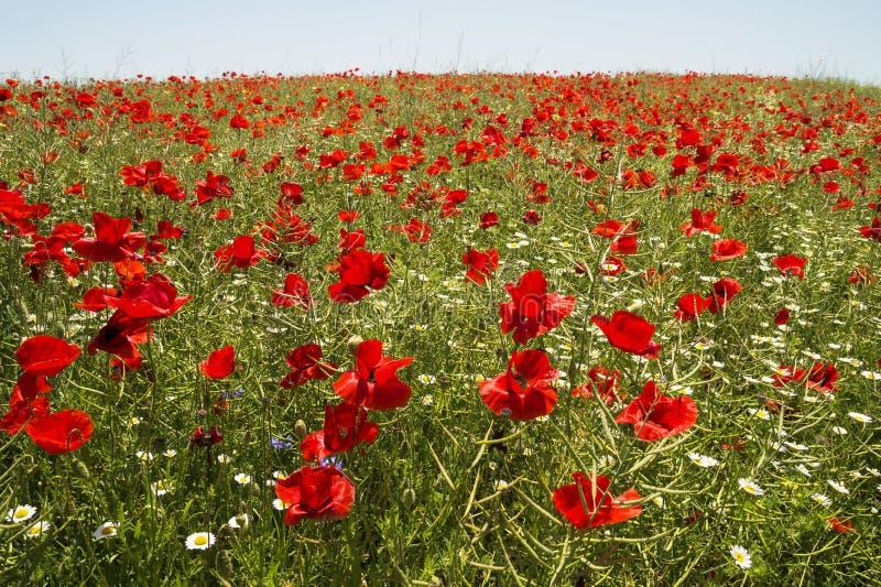 röda fältvallmor royaltyfri fotografi