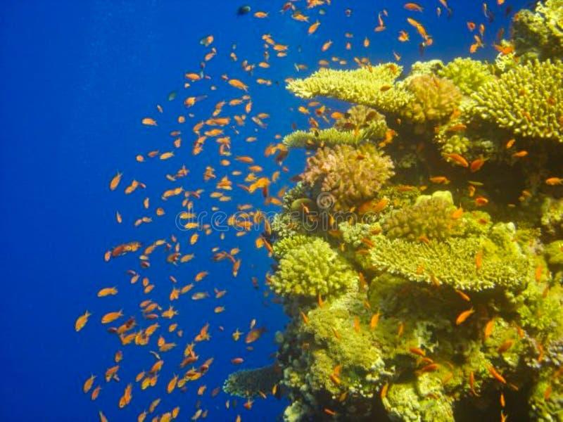 röda fiskar mellan en korall royaltyfri foto