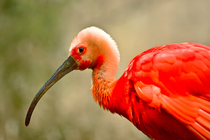 röda flamingos royaltyfria bilder