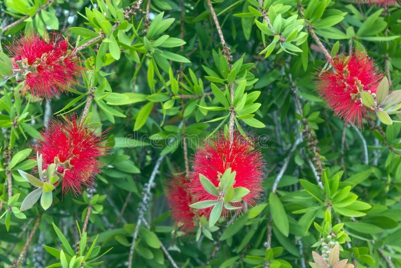 Röda fluffiga blommor av den Metrosideros excelsaen Puhutakawa träd royaltyfri foto
