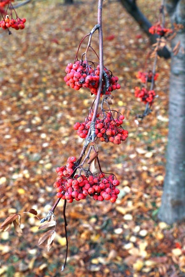 Röda grupper av rönnbär i höst royaltyfri fotografi