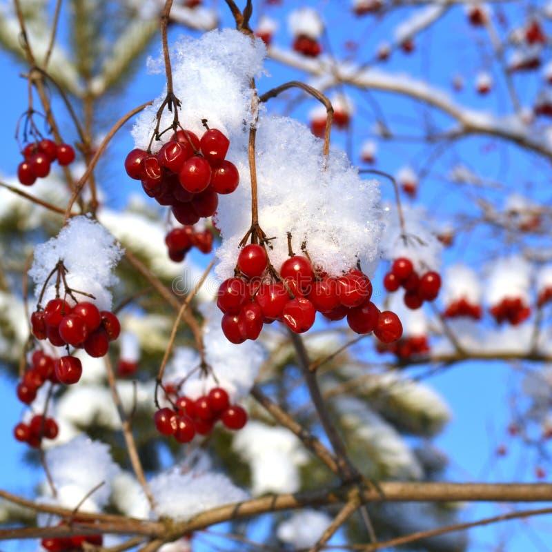 Röda grupper av rönnen som täckas med den första snön royaltyfri bild