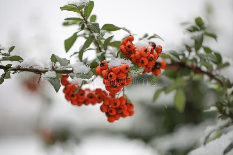 Röda grupper av rönnen som täckas med den första snön arkivfoto