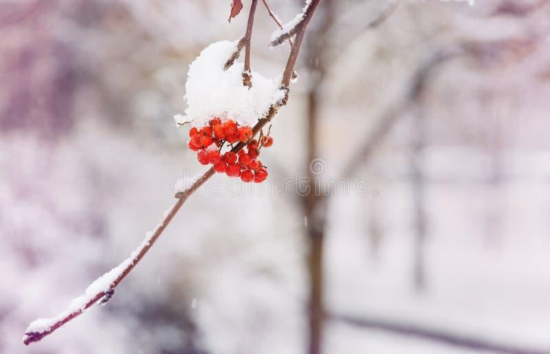 Röda grupper av rönnen som täckas med den första snön Vinter arkivfoton