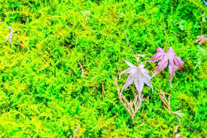 Röda gula höstlönnlöv på grönt gräs för ny vår royaltyfri fotografi