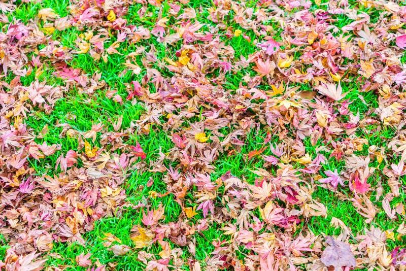 Röda gula höstlönnlöv på grönt gräs för ny vår royaltyfri bild
