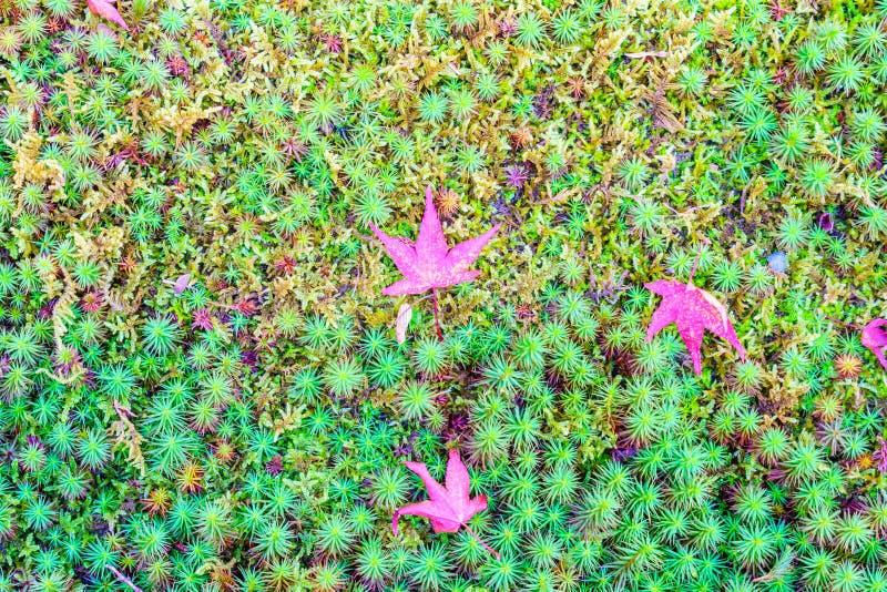 Röda gula höstlönnlöv på grönt gräs för ny vår royaltyfria bilder