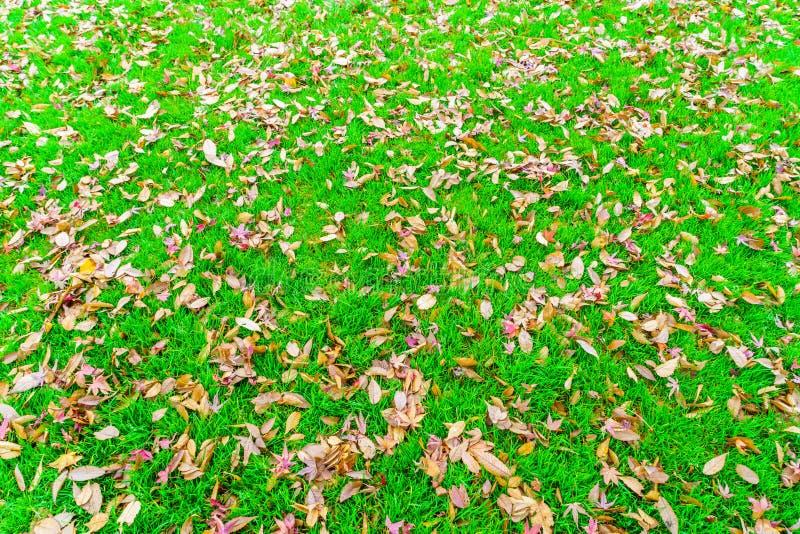 Röda gula höstlönnlöv på grönt gräs för ny vår arkivfoto