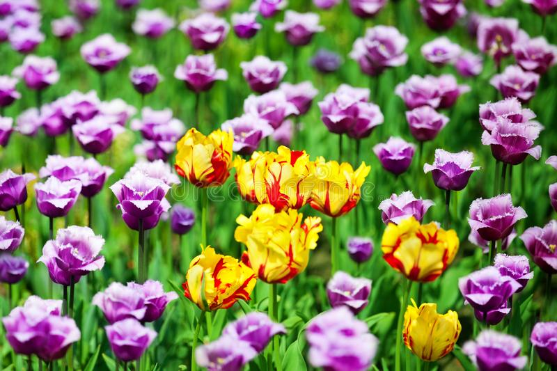 Röda, gula och purpurfärgade tulpanblommor på suddigt bokehbakgrundsslut upp, härlig sommarnatur som blommar tulpanfältet royaltyfri bild